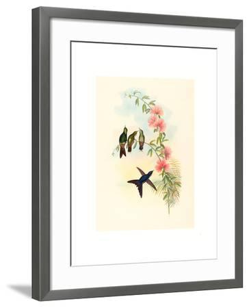 Ramphomicron Microrhyncha (Small Billed Thornbill), Colored Lithograph- Richter & Gould-Framed Giclee Print