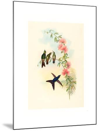 Ramphomicron Microrhyncha (Small Billed Thornbill), Colored Lithograph- Richter & Gould-Mounted Giclee Print