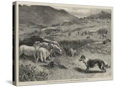 National Sheep-Dog Trials at Bala, North Wales, Penning the Sheep-Samuel Edmund Waller-Stretched Canvas Print