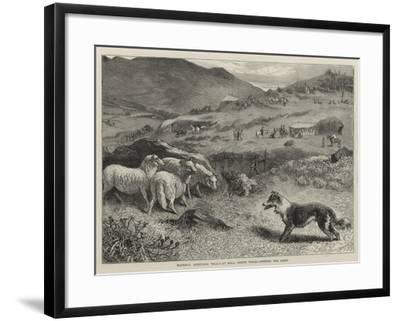 National Sheep-Dog Trials at Bala, North Wales, Penning the Sheep-Samuel Edmund Waller-Framed Giclee Print