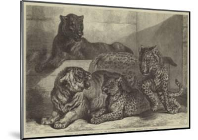 Leopards and Tigress Lately Added to the Zoological Society's Collection, Regent's Park-Samuel John Carter-Mounted Giclee Print