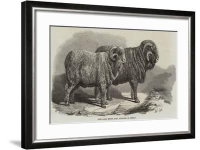 Pure Saxon Merino Rams, Exhibited at Breslau-Samuel John Carter-Framed Giclee Print
