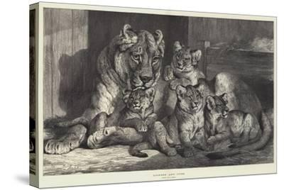 Lioness and Cubs-Samuel John Carter-Stretched Canvas Print