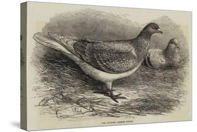 The Antwerp Carrier Pigeon-Thomas W. Wood-Stretched Canvas Print