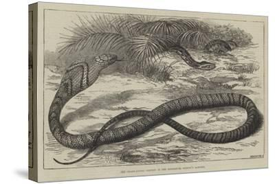 The Snake-Eating Serpent in the Zoological Society's Gardens-Thomas W. Wood-Stretched Canvas Print