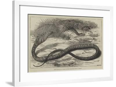 The Snake-Eating Serpent in the Zoological Society's Gardens-Thomas W. Wood-Framed Giclee Print