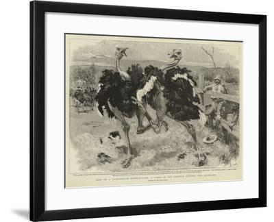 Life on a Californian Ostrich-Farm, a Fight in the Paddock Between Two Ostriches-William Small-Framed Giclee Print