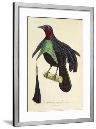 Adult Male of Superb Bird-Of-Paradise (Lophorina Superba)--Framed Giclee Print