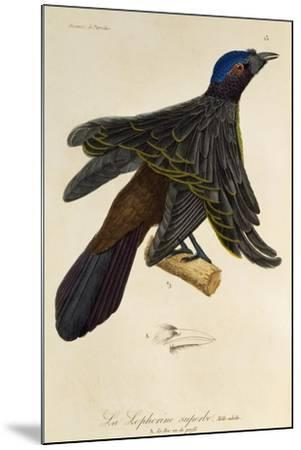 Adult Male of Superb Bird-Of-Paradise (Lophorina Superba)--Mounted Giclee Print