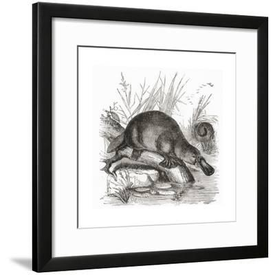 A Duckbilled Platypus--Framed Giclee Print