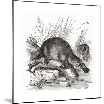 A Duckbilled Platypus--Mounted Giclee Print