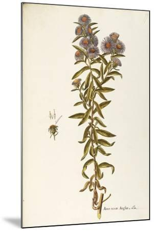 Asteraceae or Compositae--Mounted Giclee Print
