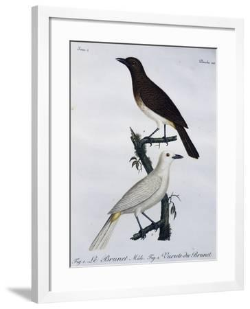 African Red-Eyed Bulbul (Pycnonotus Nigricans)--Framed Giclee Print