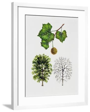 American Sycamore--Framed Giclee Print