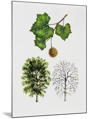 American Sycamore--Mounted Giclee Print