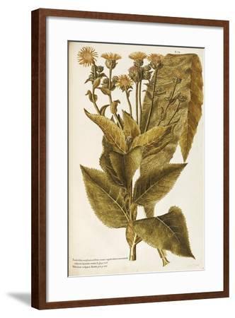 Asteraceae or Compositae--Framed Giclee Print