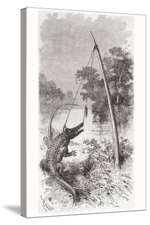 An Alligator Trap on the Oyapock or Oiapoque River--Stretched Canvas Print
