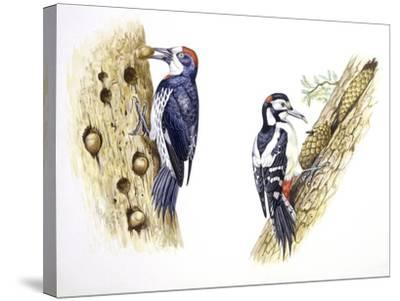 Birds: Piciformes--Stretched Canvas Print