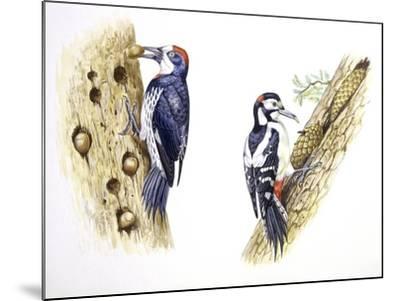 Birds: Piciformes--Mounted Giclee Print