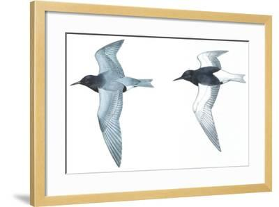 Birds: Charadriiformes: Black Tern--Framed Giclee Print