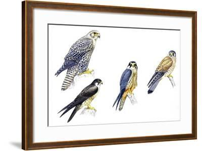 Birds: Falconiformes--Framed Giclee Print