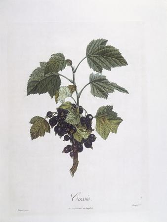 Blackcurrant (Ribes Nigrum) or Cassis Noir De Bourgogne Henry Louis Duhamel Du Monceau--Framed Giclee Print