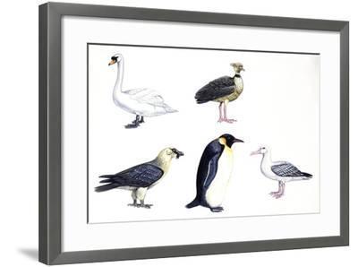Birds: Mute Swan (Anseriformes--Framed Giclee Print
