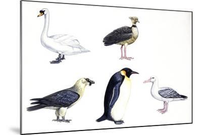 Birds: Mute Swan (Anseriformes--Mounted Giclee Print