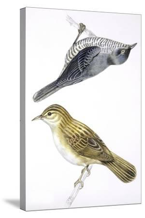 Birds: Passeriformes--Stretched Canvas Print