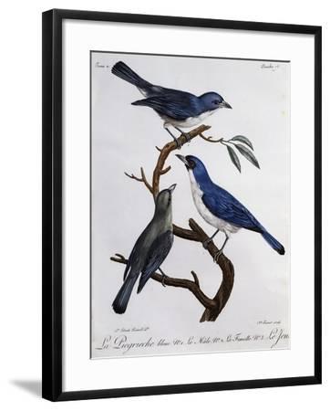Blue Vanga (Cyanolanius Madagascarinus)--Framed Giclee Print