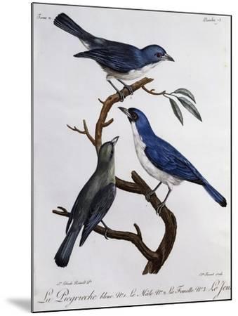 Blue Vanga (Cyanolanius Madagascarinus)--Mounted Giclee Print