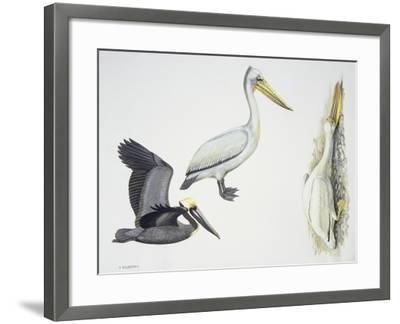 Birds: Pelecaniformes--Framed Giclee Print