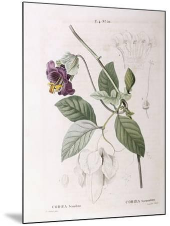 Cup and Saucer Vine (Cobaea Scandens)--Mounted Giclee Print