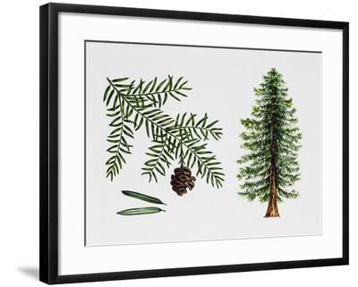 Coast Redwood--Framed Giclee Print