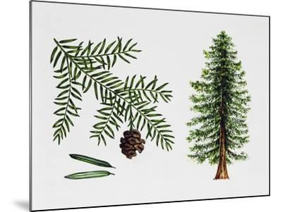 Coast Redwood--Mounted Giclee Print