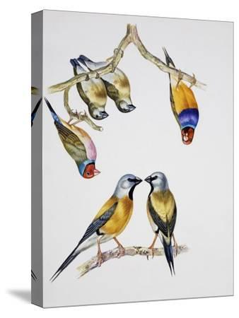 Couples of Gouldian Finch (Chloebia Gouldiae) and Couple of Black-Throated Finch (Poephila Cincta)--Stretched Canvas Print