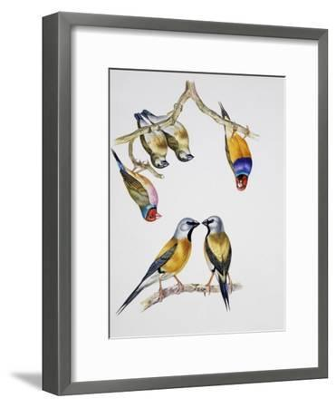 Couples of Gouldian Finch (Chloebia Gouldiae) and Couple of Black-Throated Finch (Poephila Cincta)--Framed Giclee Print