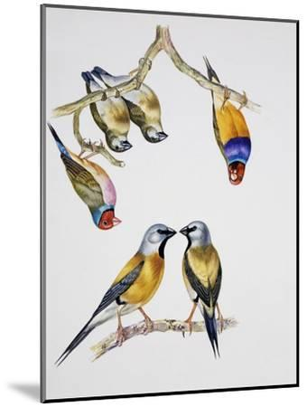 Couples of Gouldian Finch (Chloebia Gouldiae) and Couple of Black-Throated Finch (Poephila Cincta)--Mounted Giclee Print