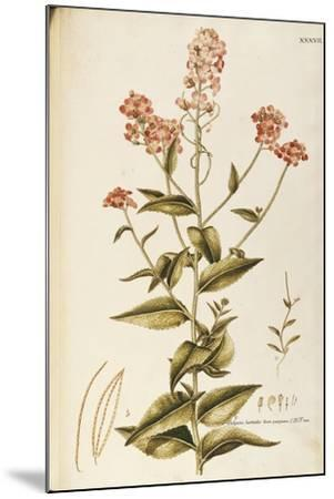 Dame's Rocket or Damask Violet (Hesperis Matronalis)--Mounted Giclee Print
