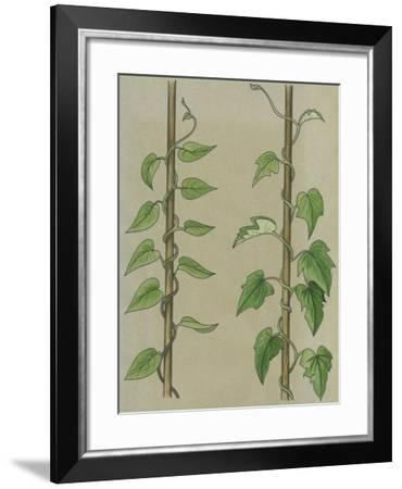Convolvulus or Field Bindweed (Convolvulus Arvensis)--Framed Giclee Print