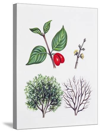 Cornelian Cherry or European Cornel (Cornus Mas)--Stretched Canvas Print