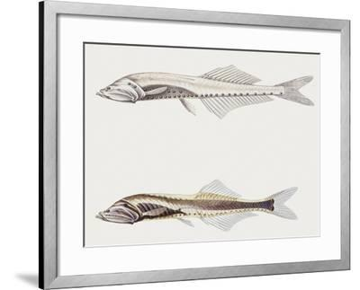 Fishes: Clupeiformes Gonostomatidae (Bristlemouths) Cyclothone Pygmaea--Framed Giclee Print