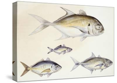 Fishes: Crevalle Jack (Caranx Hippos)--Stretched Canvas Print