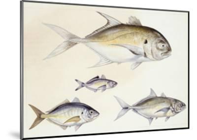 Fishes: Crevalle Jack (Caranx Hippos)--Mounted Giclee Print