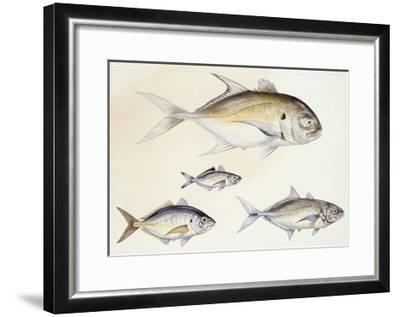 Fishes: Crevalle Jack (Caranx Hippos)--Framed Giclee Print