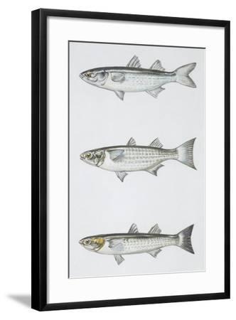 Fishes: Mugiliformes--Framed Giclee Print