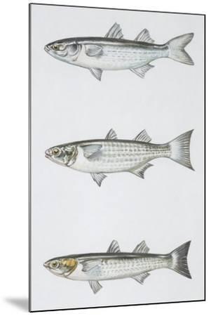 Fishes: Mugiliformes--Mounted Giclee Print