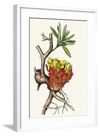 Illustration Representing Cytinus Hypocistis--Framed Giclee Print