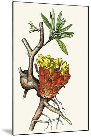 Illustration Representing Cytinus Hypocistis--Mounted Giclee Print