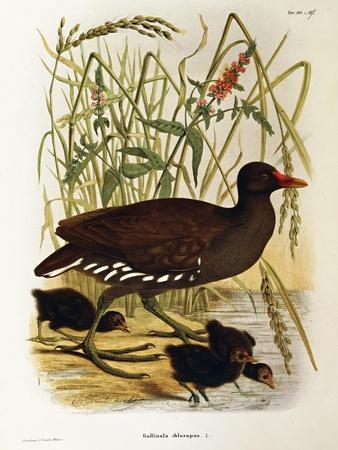 Illustration from Eugenio BettoniS Natural History of Birds That Nest in Lombardy Representing Comm--Framed Giclee Print